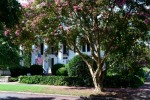 Large crape myrtle trees are everywhere.